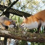 BREVARD-ZOO-FOXES-580